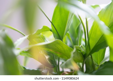 spathiphyllum leaves closeup green background with copy space