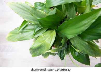 spathiphyllum leaves closeup green background with copy space to view directly above