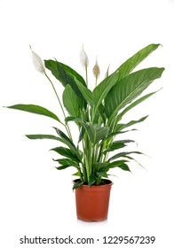 Spathiphyllum plant in front of white background