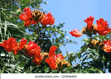 Spathodea flowers, leaves and buds. African Tulip Tree