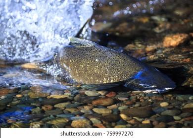 Spawning Chinook Salmon