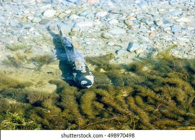 Spawning chum salmon (Oncorhynchus keta) in Chehalis River, Fraser Valley, British Columbia, Canada