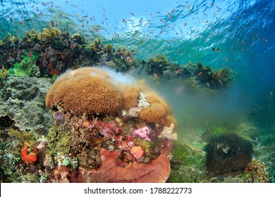 Spawning coral on a healthy reef. Underwater image taken scuba diving in Alor, Indonesia.