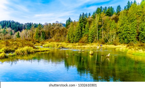 The spawning grounds of the Stave River downstream of the Ruskin Dam at Hayward Lake near Mission, British Columbia, Canada