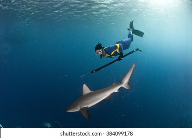 A spear fisher free diving with a friendly galapagos shark