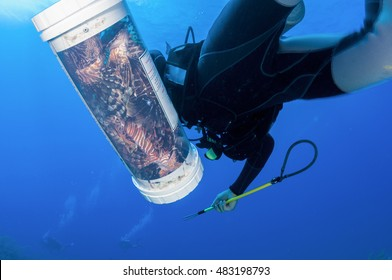Spear fisherman catches invasive lionfish in the Caribbean. These fish are devastating the reefs and reef fish populations throughout the Caribbean.