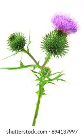 Spear thistle, bull thistle or common thistle (Cirsium vulgare) flower isolated against white background