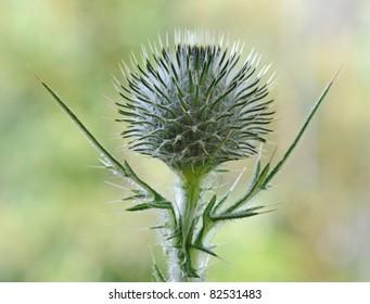 Spear Thistle (Cirsium Vulgare) - Cynareae