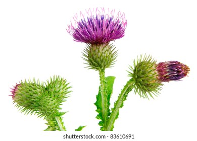 Spear thistle, cirsium vulgare on white background