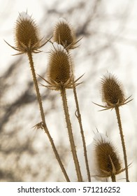 Spear thistle covered with snow in winter closeup