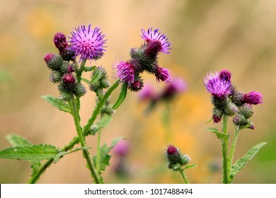 Spear Thistle plant in a forest grassy meadow in south Poland