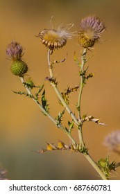 Spear Thistles in various stages of bloom in the Oregon wilderness