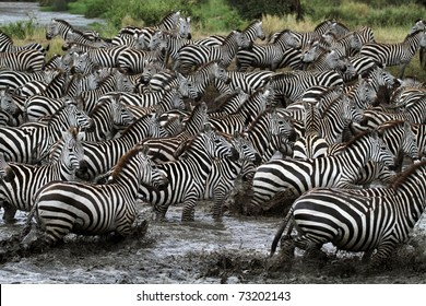 Spearhead of about 10,000 skittish zebras gathering to drink from crocodile-infested river, Serengeti, Tanzania, East Africa