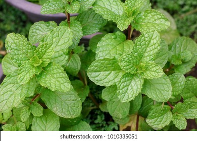 how to make tea with spearmint leaves