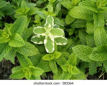spearmint peppermint herb garden