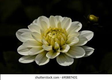 special bloom Dahlia Elke Bisoke