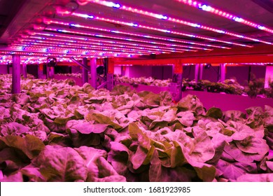Special LED lights belts above lettuce in aquaponics system combining fish aquaculture with hydroponics, cultivating plants in water under artificial lighting, indoors - Shutterstock ID 1681923985