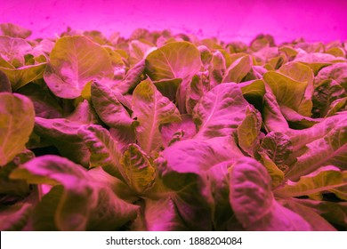 Special LED lights shine on lettuce in aquaponics system combining fish aquaculture with hydroponics, cultivating plants in water under artificial lighting, indoors - Shutterstock ID 1888204084