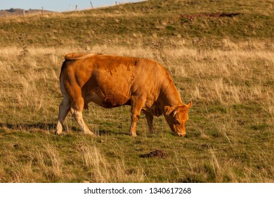 Special species of Salers cow, France