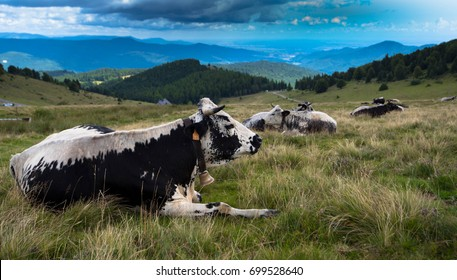 "The special ""Vosges cow"" in the mountains of the Vosges in France"