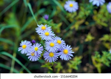 Is a species of Aster native to parts of eastern and central United States. It is found in parts of Kansas, Ohio, northern Illinois.