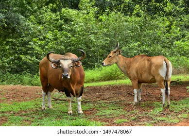 Species Banteng (Bos javanicus) family was beware in group position in real nature at wildlife sanctuary in Thailand