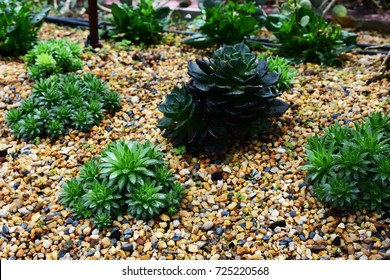 Species in the desert for landscaping