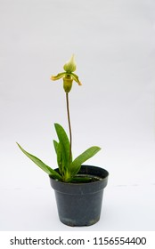Species Orchid Paphiopedilum bacanum