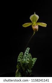 Species orchid Paphiopedilum tonsum