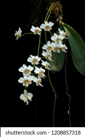Species orchid Phalaenopsis stuartiana