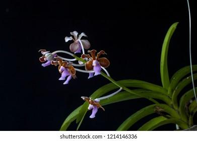 Species orchid Vanda limbata