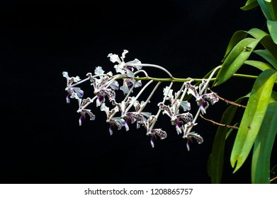 Species orchid Vanda tricolor