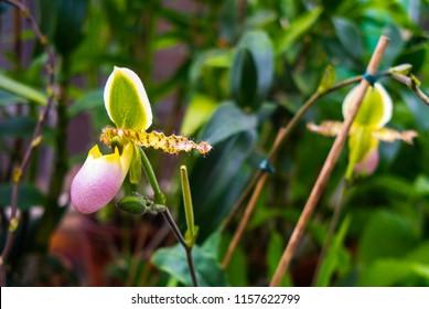 Species orchids Paphiopedilum