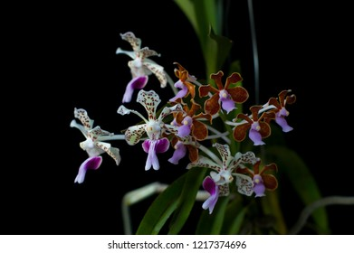 Species orchids Vanda tricolor and Vanda limbata