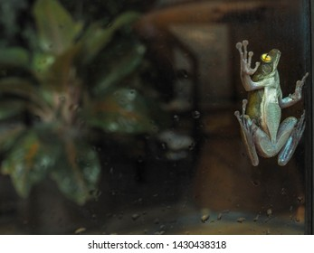 Species of a small green frog stick on a glasses door while heavy raining with small tree background and copy space. real time shot