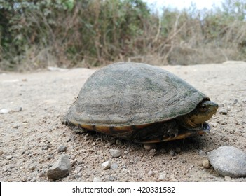Species unknown, Sauropsidae family, tortoise found driving on a dirt road in Sinaloa, Mexico.