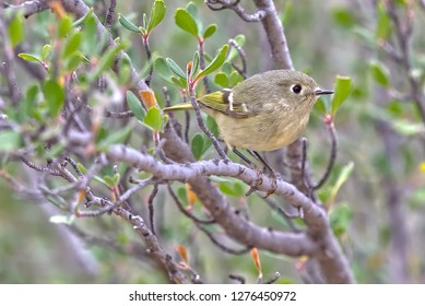Species of Warbler near Prescott AZ. Might be either a Lucy's Warbler or Yellow Rumped Warbler