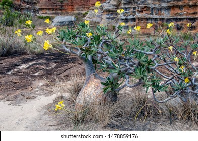 Specimen of Elephant's Foot Plant (Pachypodium rosulatum), a succulent plant characteristic of the Isalo National Park in Madagascar.