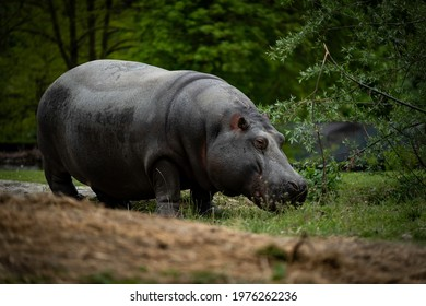 specimen of huge adult hippo while walking in the murazzano park