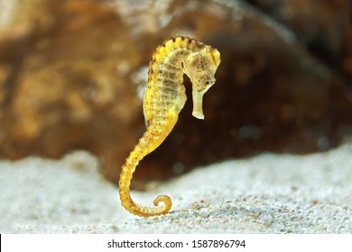 Specimen of long-snouted hippocampus in the aquarium (Hippocampus reidi) also known as thin hippocampus