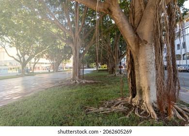 Specimens of ficus trees (Ficus benjamina), in a city park in Gandía (Valencia, Spain).