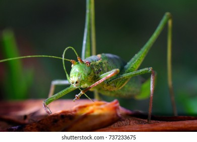 Speckled bush cricket close up of insect