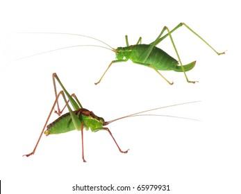 Speckled Bush-Cricket (Leptophyes punctatissima) isolated on white