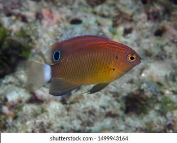 Speckled damselfish in Bohol sea Philippines