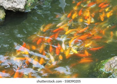 Speckled fish in the pond