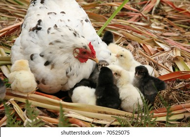Speckled free range white hen and her newly hatched chickens.