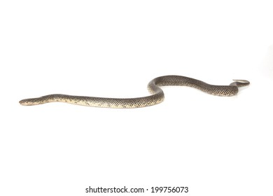 A speckled king snake isolated on a white background.