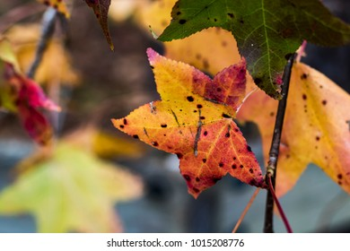 Speckled Maple Leaves in Fall