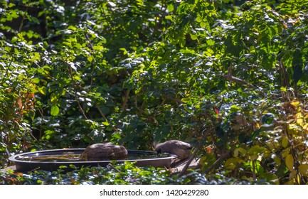 A speckled mousebird secretly drinks from a birdbath in an urban garden image with copy space in landscape format