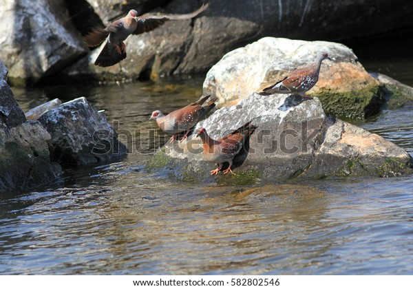 The Speckled Pigeon sit on a stone in hot day and drink water